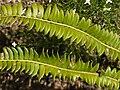 Lanzen-Schildfarn Polystichum lonchitis Grüner Ups Ehrwald-003.jpg