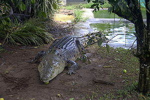 English: Picture of a rather large Crocodile, ...