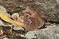 Large Oakblue Arhopala amantes by Dr. Raju Kasambe DSCN3031 (3).jpg