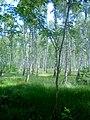 Las brzozowy w letniej szacie - panoramio.jpg