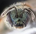 Lasioglossum tenax, f, North Carolina, face 2020-12-18-18.24.52 ZS PMax UDR (51172665712).jpg