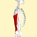 Latissimus dorsi muscle lateral2.png