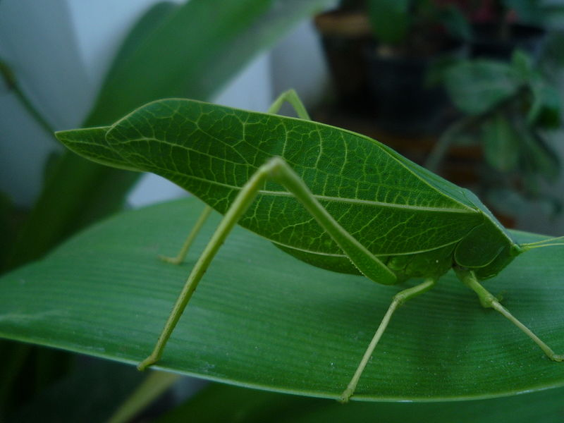 File:Leaf insect.jpg
