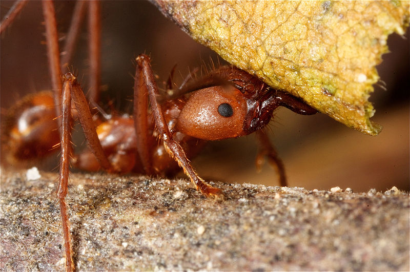 File:Leafcutter ant.jpg