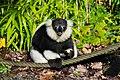 Lemur (26245353509).jpg