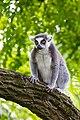 Lemur (36948145551).jpg