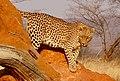 Leopard (37072884483).jpg