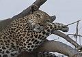 Leopard (Panthera pardus) (21199331814).jpg
