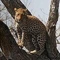 Leopard 3 - Flickr - Ragnhild & Neil Crawford.jpg