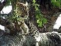 Leopard tree Serengeti-1.jpg