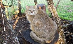 Pampas cat with the third pelage type (see text)