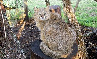 Leopardus - Image: Leopardus pajeros 20101006