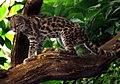 Leopardus wiedii.jpg