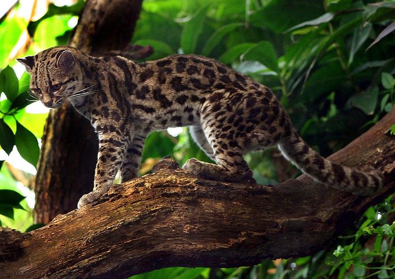 https://upload.wikimedia.org/wikipedia/commons/thumb/8/81/Leopardus_wiedii.jpg/800px-Leopardus_wiedii.jpg