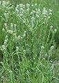 Lepidium campestre kz16.jpg