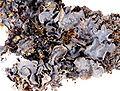 Leptogium cyanescens-8.jpg