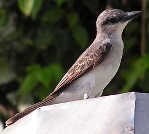 Fauna of Barbados - A gray kingbird