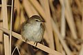 Lesser swamp warbler, Acrocephalus gracilirostris, at Marievale Nature Reserve, Gauteng, South Africa (40722476300).jpg