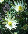 Leucadendron loriense ♂.JPG