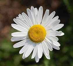 Leucanthemum vulgare 'Filigran' Flower 2200px edit1.jpg