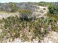 Leucospermum hypophyllocarpodendron subs canaliculatum bush.JPG