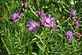 Lielā dzelzene (Centaurea scabiosa L.), Babītes pagasts, Babītes novads, Latvia - panoramio.jpg