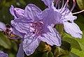 Lilac Azalea (4547463637).jpg