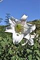 Lilium formosanum (Liliaceae) (4756634229).jpg