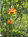 Lilium maritimum kruse.jpg