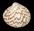 Lioconcha arabica MHNT.CON.2002.1019. simple.jpg