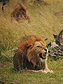 Lions @ Maasai Mara (20197560563).jpg