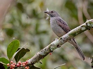 Screaming piha Species of bird