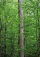 Liriodendron tulipifera columnar trunk.JPG