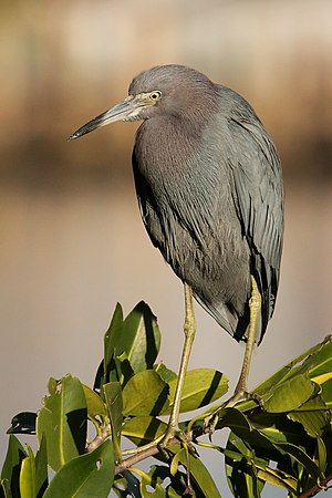 A little blue heron perching