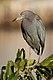 Little Blue Heron 9812.jpg