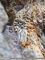 Little Owl (Athene noctua) (48052357796).jpg