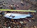 Little dell bonneville cutthroat trout 18OCT.jpg