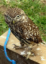 Little owl arp.jpg