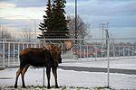 Living with wildlife, Moose 161101-F-SK378-0225.jpg