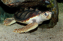 A loggerhead sea turtle resting under a rock with its eyes open.