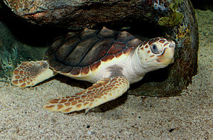 Loggerhead sea turtle - A resting loggerhead sea turtle