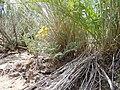 Lomatium foeniculaceum (5834369744).jpg