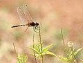 Long-legged Marsh Skimmer (Trithemis pallidinervis) on Croton bonplandianus W IMG 0946.jpg