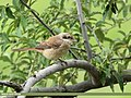 Long-tailed Shrike (Lanius schach) (43866525871).jpg