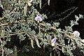 Lotononis sericophylla (Fabaceae) (6932208429).jpg