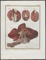 Lutra vulgaris - ingewanden - 1700-1880 - Print - Iconographia Zoologica - Special Collections University of Amsterdam - UBA01 IZ22500057.tif