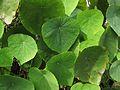 Macaranga peltata - leaves.JPG