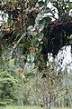 Macleania pentaptera (Ericaceae) (29758502950).jpg