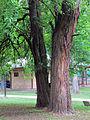 Maclura pomifera pancevo1.jpg
