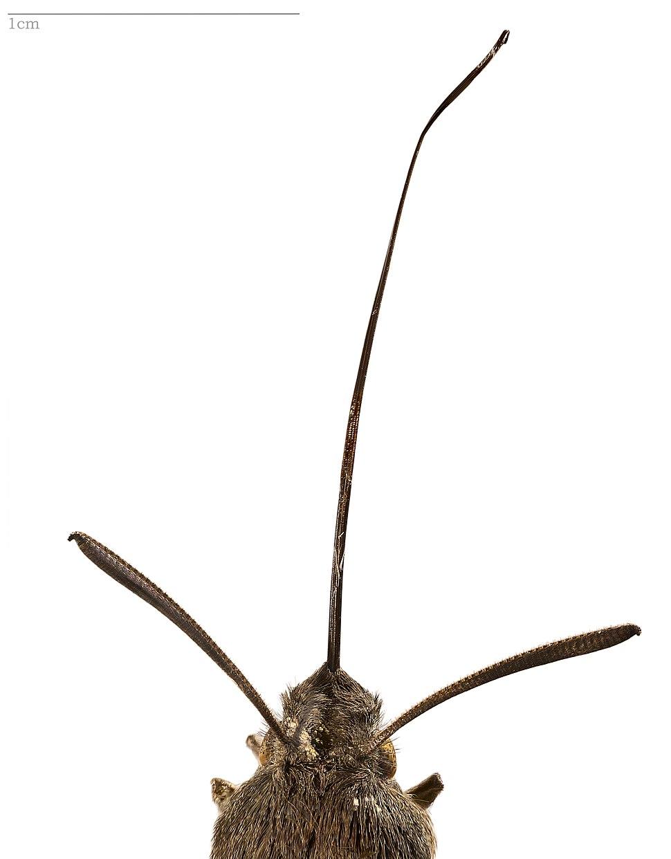 Macroglossum stellatarum anatomy - MHNT
